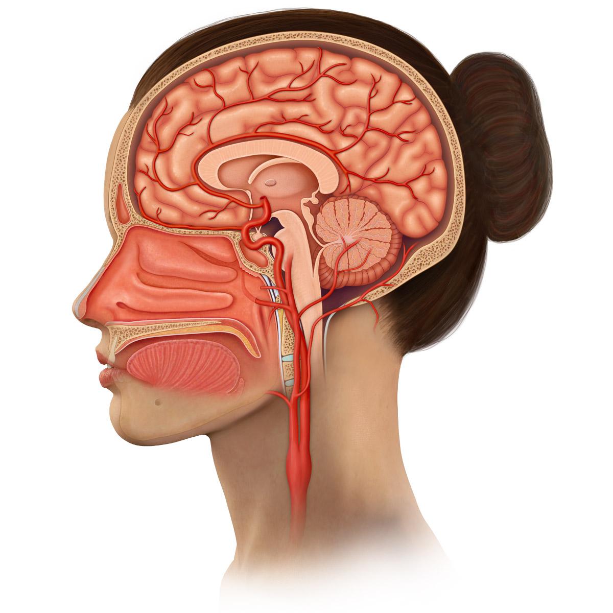 Sagittal Head Anatomy Medical Stock Art