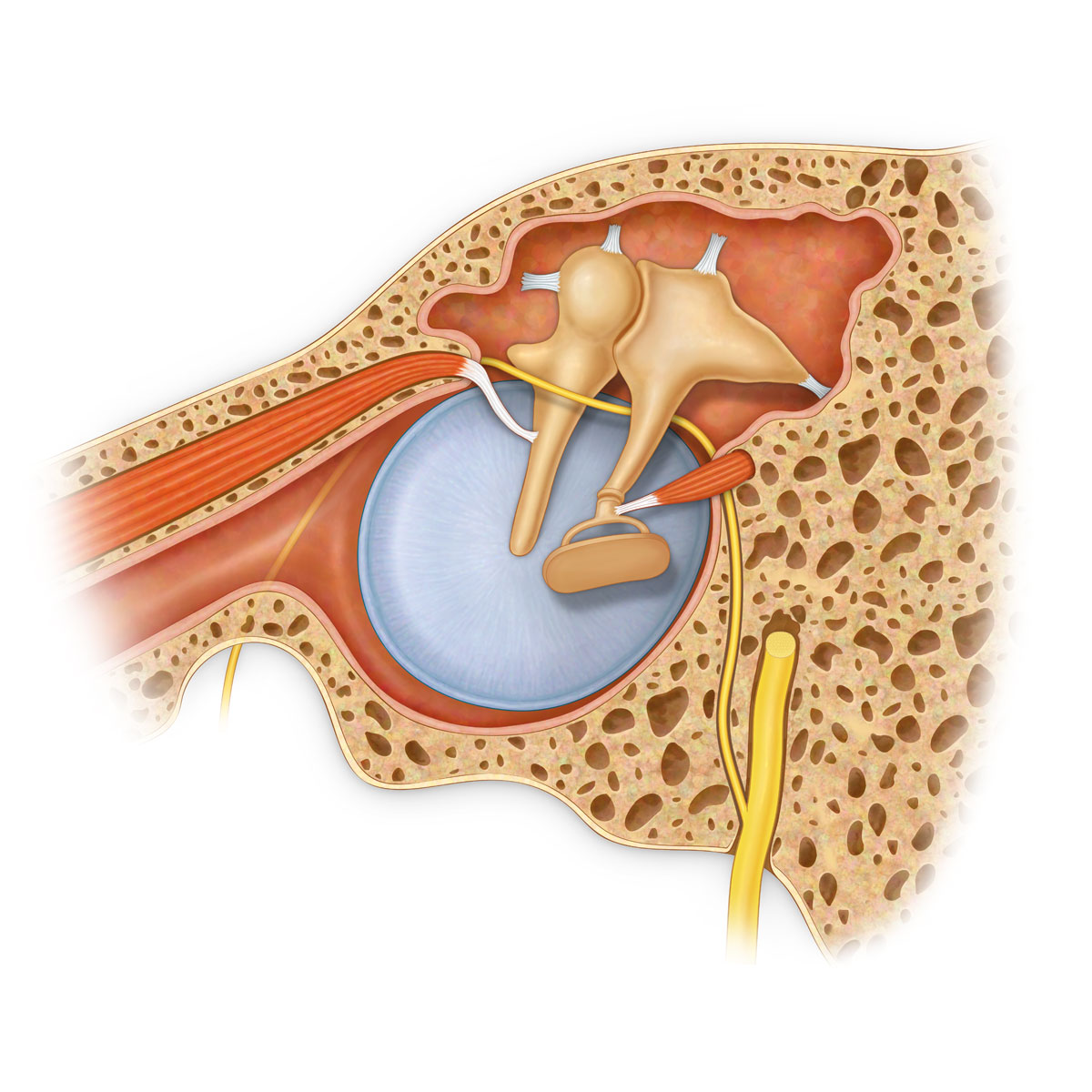 Tympanic Membrane And Ossicle Anatomy Medical Stock Art