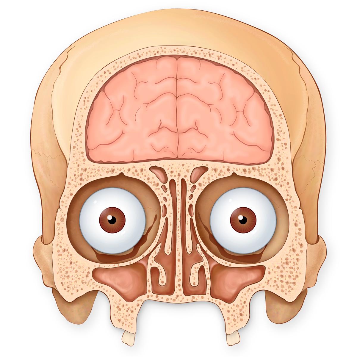 Medical Stock Art, Pediatric Skull, Brain, Eyes and Sinuses