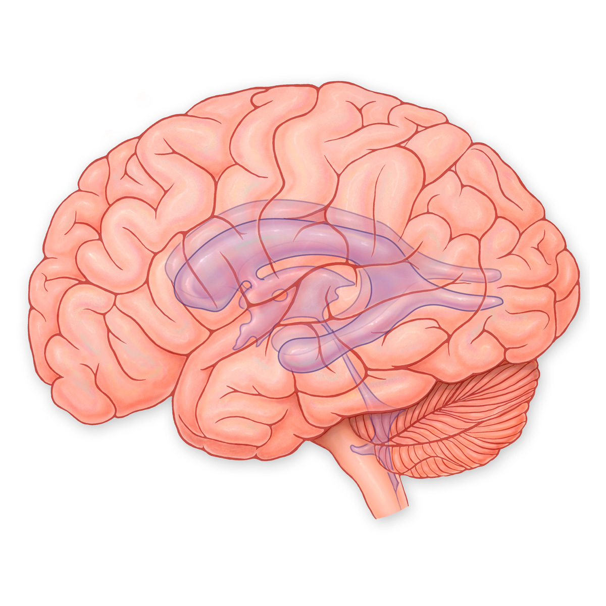 Medical Stock Art, Ventricles of the Brain